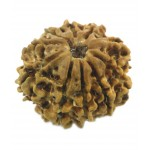 Natural IGL Certified Ten Mukhi Rudraksha Bead 22MM